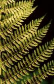 Athyrium filex femina Roth