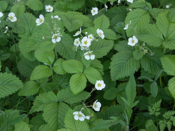Fragaria moschata Duch.